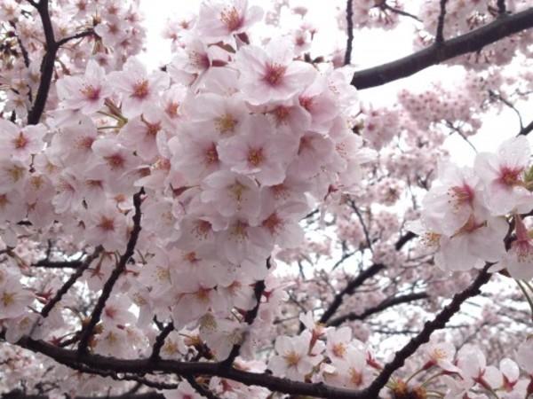 今年の桜は今日で散ってしまいそうです。