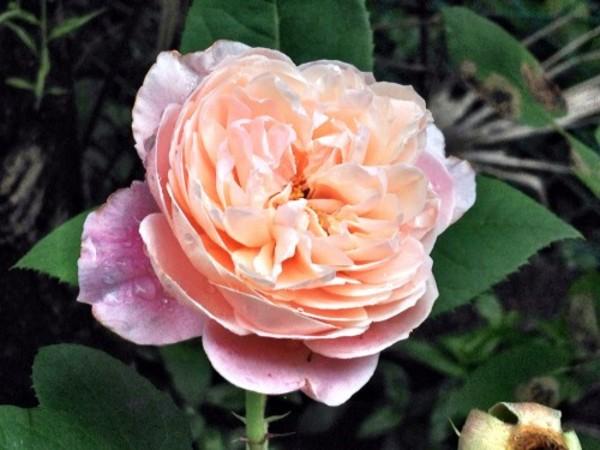 薄桃色の薔薇が庭に咲きました。