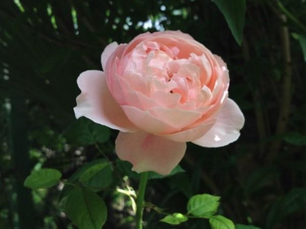 2月末に剪定した庭の薔薇が二輪咲きました。