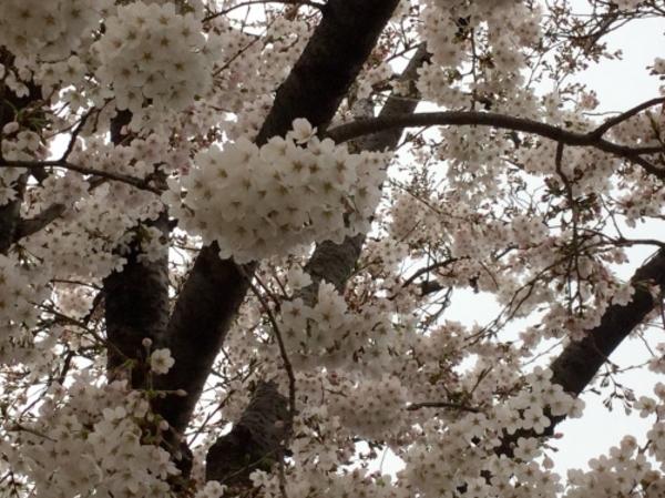 桜が満開です。